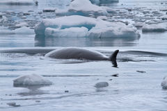 Minke whale floating between small ice floes Antarctic overcast Stock Photos