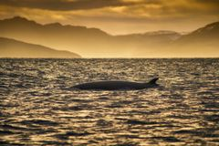 Free Minke Whale In Barents Sea, Arctic Ocean Stock Images - 162949424