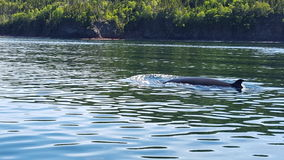 Minke Whale in Newfoundland, Canada Stock Photos