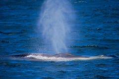 Minke Whale in Ocean Royalty Free Stock Photos