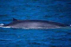 Minke Whale in Ocean. Minke whale in bright blue ocean off the coast of Maine Stock Photography