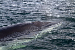 Minke whale's head pop up on the surface of the water Stock Photos
