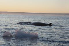 The minke whale in the Southern Ocean-1. Stock Photos