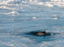Antarctic Minke Whale surfacing through sea-ice, Antarctica royalty free stock images