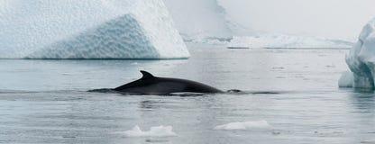 Antarctic Minke Whale surfacing between weathered icebergs, Antarctic Peninsula stock images