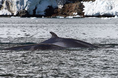 Minke whale two floating along the Antarctic Stock Image
