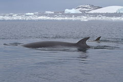 Minke whale two floating in the strait between the islands of th Royalty Free Stock Photos