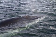 Minke wieloryb ukazywał się oddychać w Antarktyczny 1 Obrazy Stock