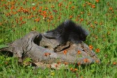 Minksammanträde på ett inloggningsfält av vildblommor Royaltyfri Bild