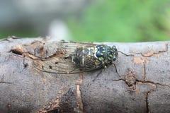 Minmin Robust Cicada in Japan Royalty Free Stock Photos