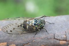 Minmin Robust Cicada in Japan Royalty Free Stock Images