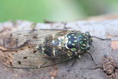 Minmin Robust Cicada in Japan Royalty Free Stock Photography