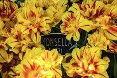 Monsella tulips Royalty Free Stock Photos