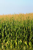 Minnesota corn farm Stock Photo