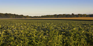 Minnesota crops Stock Images