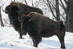 Minnesota Winter Bison Stock Photography