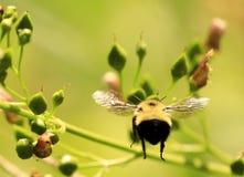 Minnestoa pszczoły zadek Zdjęcia Royalty Free