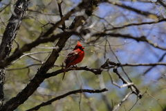 Minnestoa samiec kardynał Fotografia Stock