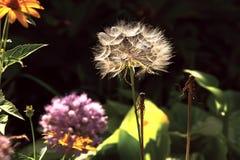 Minnet av maskrosblomman för sommar mot bakgrunden av en vanlig sommar blommar på en klar dag Arkivbilder