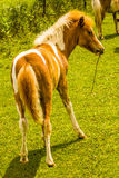 Minnie Horse Colt. Stock Photography