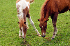 Minnie Horse Colts Grazing Stock Image