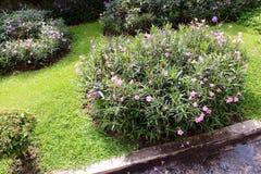 Minnieroot, popping pod, cracker plant pink flower Stock Photo