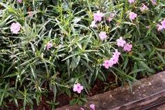 Minnieroot, popping pod, cracker plant pink flower Royalty Free Stock Photo