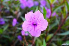 Minnieroot som poppar fröskidan, smällareväxt Royaltyfri Foto