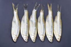 Minnow Apollo shark fish - scientific name is `Luciosoma bleekeri`. Minnow Apollo shark fish from nature - scientific name is `Luciosoma bleekeri Stock Photos
