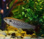 Minnow Stock Photos