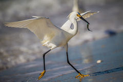 With minnow in his mouth, Snowy egret runs up beach Royalty Free Stock Photography