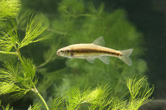Minnow, Phoxinus Phoxinus Royalty Free Stock Photography