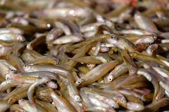 Minnows fish from fishing for fishermen in asian. Food from river royalty free stock image
