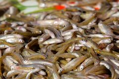 Minnows fish from fishing for fishermen in asian. Food from river royalty free stock photography