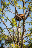 Minor red panda - Ailurus fulgens Royalty Free Stock Photography