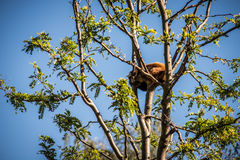 Minor red panda - Ailurus fulgens Royalty Free Stock Images