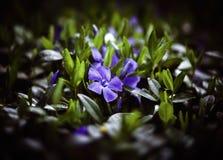 Minore della vinca del fiore Fotografie Stock Libere da Diritti