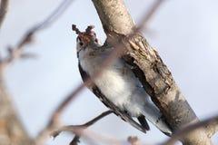 Minore di Lesser Spotted Woodpecker Dendrocopos Immagine Stock