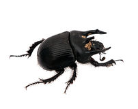 Minotaur beetle macro Stock Photos