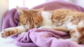 Minou blanc rouge de chat dormant sur la couverture lilas sur le rebord de fenêtre banque de vidéos