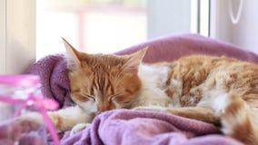 Minou blanc rouge de chat dormant sur la couverture lilas sur le rebord de fenêtre clips vidéos