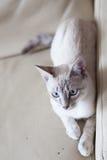 Minou d'yeux bleus sur le sofa Images stock
