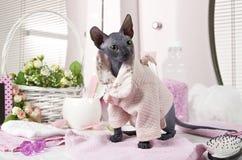 Minou de Don Sphinx habillé dans le pyjama Photographie stock