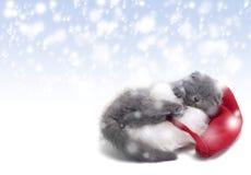 Minou de pli d'écossais de Noël Image stock