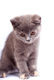 Minou gris Photo stock