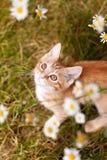 Minou mignon de gingembre dans le jardin Photos libres de droits