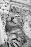 Minou mignon de sommeil, photo noire et blanche Images stock