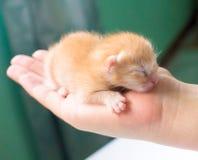 Minou nouveau-né à disposition Chat nouveau-né de bébé Minou rouge dans des mains de soin Images stock