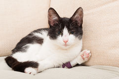 Minou ou chat triste avec la jambe cassée Photo stock