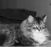 Minou sibérien de beauté dans la maison, la femelle tigrée et blanche brune photos stock